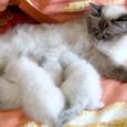gestazione gatto