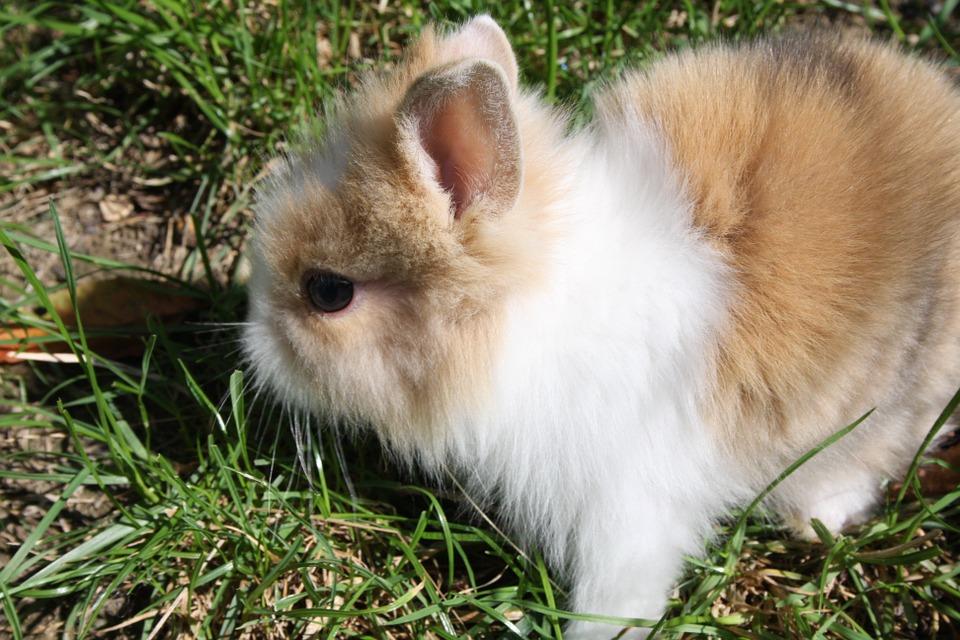 coniglio nano 1