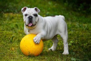 cane palla