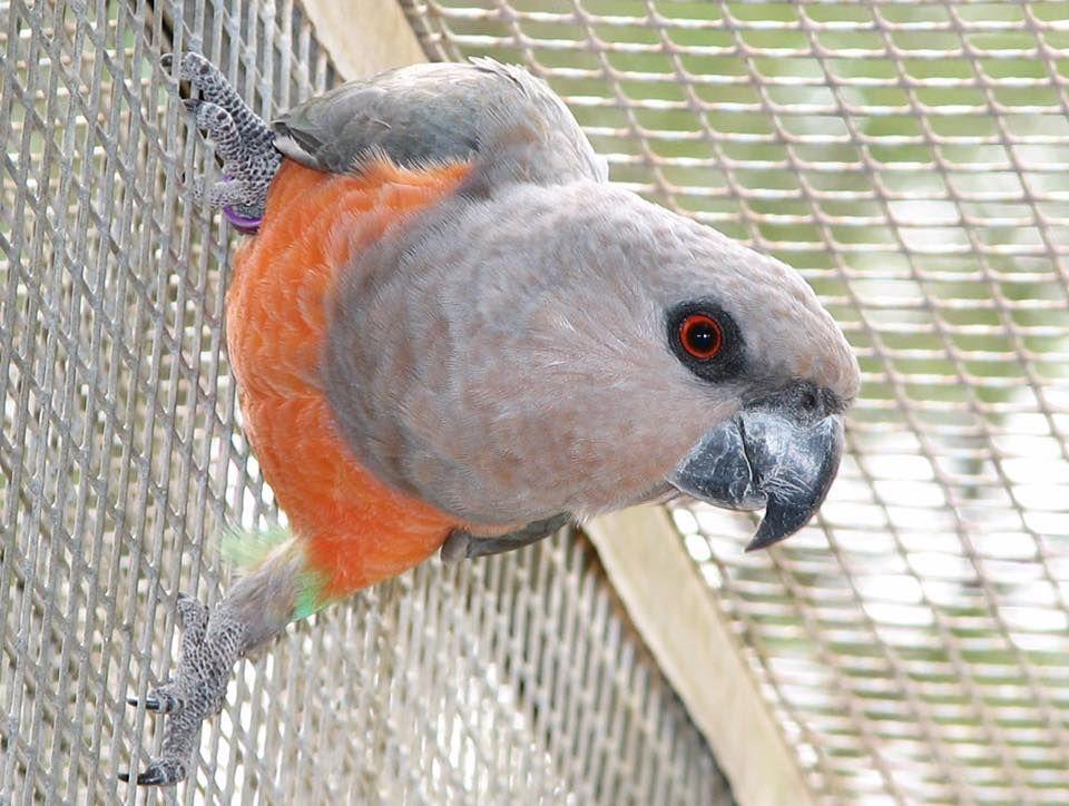 Pappagallo dal ventre arancio