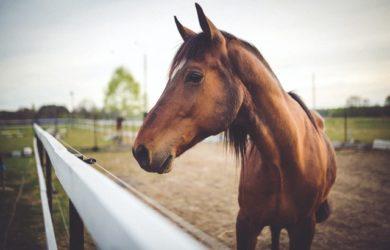 come riconoscere un cavallo di razza